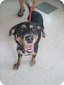 Rottweiler Mix Puppy for adoption in Olivet, Michigan - Clair