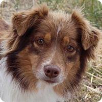 Australian Shepherd Dog for adoption in Colorado Springs, Colorado - Gypsy