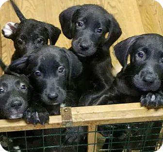 Labrador Retriever Mix Dog for adoption in Little River, South Carolina - Puppies