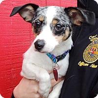 Adopt A Pet :: Chiwee - Joplin, MO
