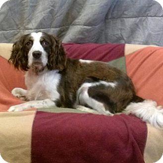 English Springer Spaniel Mix Dog for adoption in Green Bay, Wisconsin - Kenya