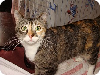 Calico Cat for adoption in Spotsylvania, Virginia - Heidi