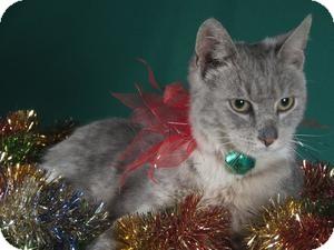 Domestic Shorthair Cat for adoption in Wayne, New Jersey - Tornado