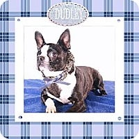 Boston Terrier Dog for adoption in Alabaster, Alabama - Dudley