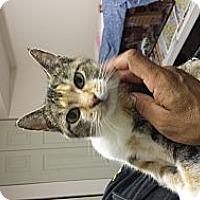 Adopt A Pet :: Diamante - Chicago, IL