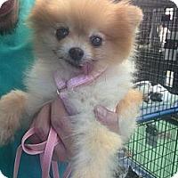 Adopt A Pet :: Whitney - New York, NY