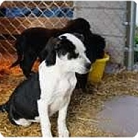 Adopt A Pet :: Mustang - Staunton, VA