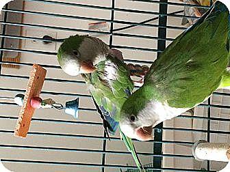 Parakeet - Quaker for adoption in Punta Gorda, Florida - Sweetie