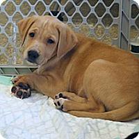 Adopt A Pet :: Baron - Minneola, FL