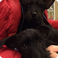 Adopt A Pet :: Scottie pups - Fairview Heights, IL