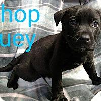 Adopt A Pet :: Chop Suey - Garden City, MI