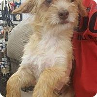 Adopt A Pet :: Bristle - Fresno, CA