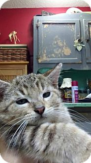 Domestic Shorthair Cat for adoption in Portland, Indiana - Kiko