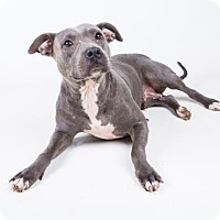 American Pit Bull Terrier Mix Dog for adoption in Decatur, Georgia - Aurora