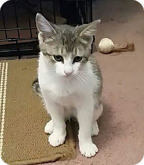 Domestic Shorthair Cat for adoption in Highland, Indiana - Squeakers