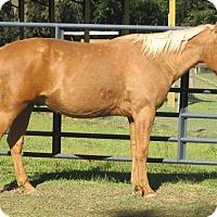 Palomino/Quarterhorse Mix for adoption in Cantonment, Florida - Trigger