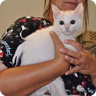 Domestic Shorthair Kitten for adoption in Sunrise Beach, Missouri - Crystal