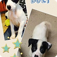 Adopt A Pet :: Bolt - Fenton, MO