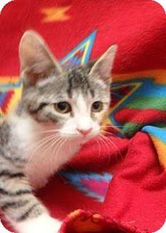 Domestic Shorthair Kitten for adoption in Apple Valley, California - Bunny #160993
