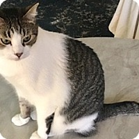Domestic Shorthair Cat for adoption in Houston, Texas - Billy Bob