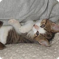 Domestic Shorthair Kitten for adoption in Orleans, Vermont - Helga