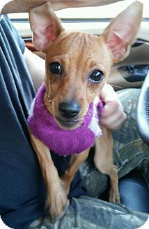 Chihuahua/Dachshund Mix Puppy for adoption in Crossville, Tennessee - Sydney