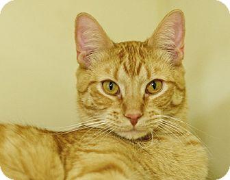 Domestic Shorthair Cat for adoption in Great Falls, Montana - Dandy