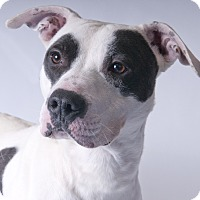 Adopt A Pet :: Petey - Chicago, IL