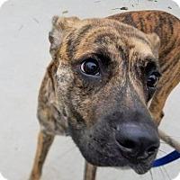 Adopt A Pet :: BRYN - Terre Haute, IN