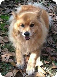 Casey | Adopted Dog | RDV029 | Bristol, CT | Finnish Spitz ...