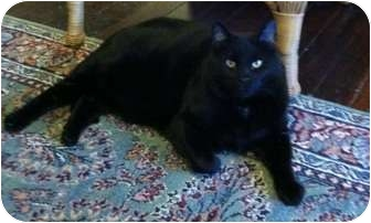 Domestic Shorthair Cat for adoption in Lenexa, Kansas - Blackster