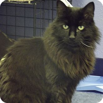 Domestic Longhair Cat for adoption in Colorado Springs, Colorado - Ronnie