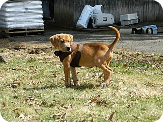 Hound (Unknown Type) Mix Puppy for adoption in Nanuet, New York - Jasper