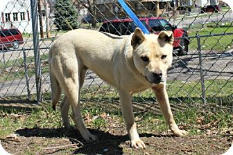 Labrador Retriever/Shiba Inu Mix Dog for adoption in Grand Rapids, Michigan - Betsy