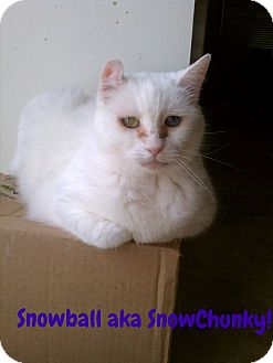 Domestic Shorthair Cat for adoption in Simi Valley, California - Snowball