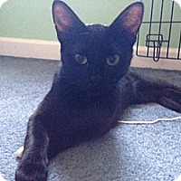 Domestic Shorthair Cat for adoption in Parkton, North Carolina - Ebony