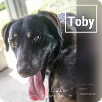 Labrador Retriever/Mountain Cur Mix Dog for adoption in Alliance, Ohio - Toby - ADOPTED!