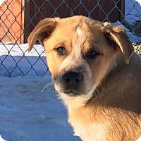 Adopt A Pet :: Whiskey - Brighton, CO