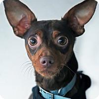 Adopt A Pet :: Max - Berkeley, CA