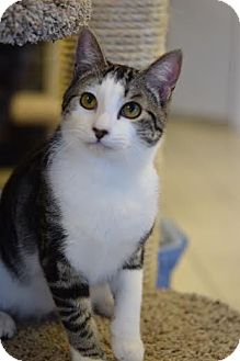 Domestic Shorthair Cat for adoption in DFW Metroplex, Texas - Tommy