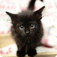 Domestic Shorthair Kitten for adoption in Fairfax Station, Virginia - Mary Jane