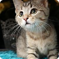 Adopt A Pet :: Jack $85 Male Kitten - knoxville, TN