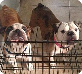 English Bulldog Dog for adoption in Odessa, Florida - Doogie & Mira