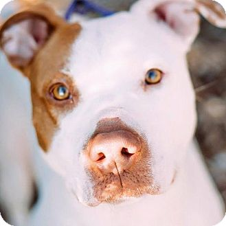 Pit Bull Terrier Mix Dog for adoption in Knoxville, Tennessee - Lulu