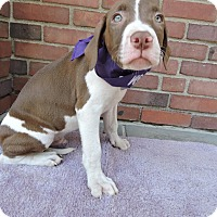 Adopt A Pet :: Stone-Pending! - Detroit, MI