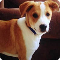 Beagle Mix Puppy for adoption in Newark, Delaware - Ruger (Courtesy Post)
