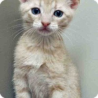 Adopt A Pet :: ADOPTED!!!   Adonis - Hinsdale, IL
