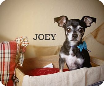 Terrier (Unknown Type, Small) Mix Dog for adoption in Scottsdale, Arizona - Joey