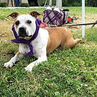 English Bulldog Mix Dog for adoption in Franklin, Indiana - Oink