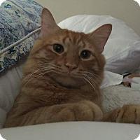 Adopt A Pet :: Taylor-Cuddler - Arlington, VA